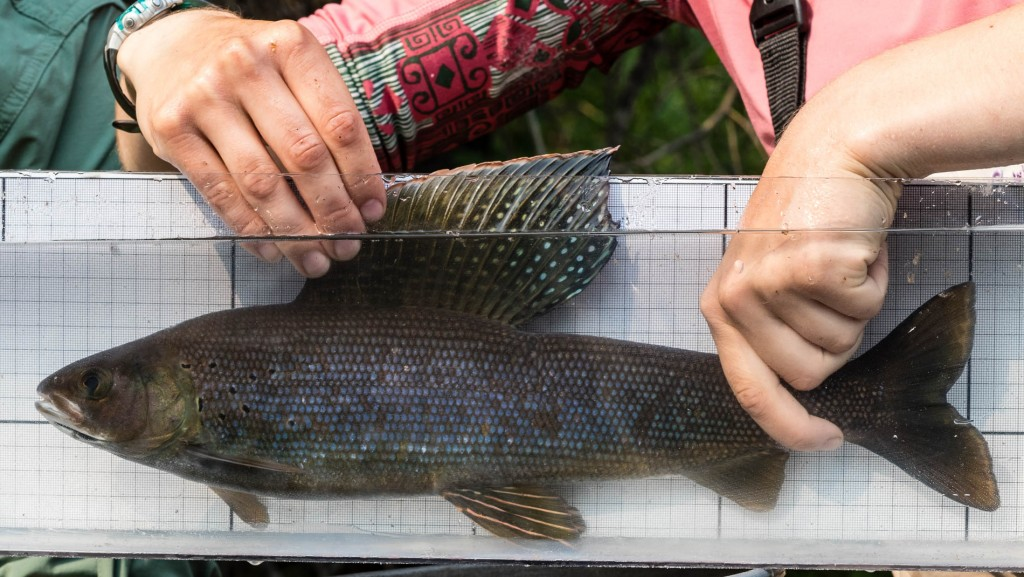A pretty grayling in the measurement and photo ID tank
